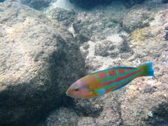 'awela - christmas wrasse by randychiu, on Flickr