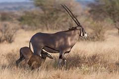 Suckling Oryx (Thomas Retterath) Tags: africa travel nature animals tiere wildlife urlaub natur safari afrika bovidae mammals samburu 2009 kenia oryx herbivore kalb ostafrika säugetier calv beisaoryx pflanzenfresser eastafricanoryx fantasticwildlife thomasretterath samburufive