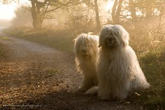 foggy morning dogs * explore* (dewollewei) Tags: old english fog sheepdog explore bobtail oes oldenglishsheepdog sheepdogs oldenglishsheepdogs explored platinumheartaward dewollewei goldpawaward silverpawaward highqualitydogs