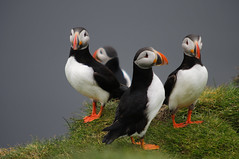 Puffins IV, Ingolfshfi, Iceland (Xindaan) Tags: travel vacation portrait holiday bird nature animal geotagged island iceland islandia nikon europa europe dof bokeh clown 14 natur feather sigma depthoffield puffin 28 70200 2009 f4 teleconverter lundi sland vogel islande isl macareux 70200mm islanda d300 fraterculaarctica papageitaucher 14x 7020028 papageientaucher 280mm ingolfshofdi platinumheartaward ingolfshfdi 70200mmf28exdg ingolfshfi knappavellir elfrailecillo