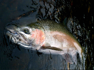 Willamette Winter Steelhead