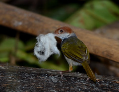 Philippine Tailorbird (Orthotomus castaneiceps) (Bram Demeulemeester - Birdguiding Philippines) Tags: philippines visayas panay bramdemeulemeester birdguidingphilippines philippinesbirdingtours philippinetailorbird