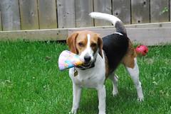 The Birthday Hat (candybluerhino) Tags: birthday dog chien beagle hat puppy perro chapeau anniversaire oneyearold