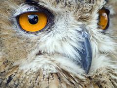 gufo2011_6112318_1 (stegdino) Tags: bird yellow giallo owl prey uccello rapace twothumbsup gufo bigmomma gamewinner cy2 thumbwrestler challengeyouwinner 3wayicon 15challengeswinner favescontestwinner thechallengefactory gamex2winner herowinner storybookwinner storybookbtd3rd storybookbtd1st agcgcrèmedelacrèmewinner agcgsweepchallengewinner agcgsweepwinner gamex3sweepwinner agcgcrèmeofthecropchallengewinner ispyiconchallengewinner stegomisc 3waybest2011 3rdplacesbiconchallenge