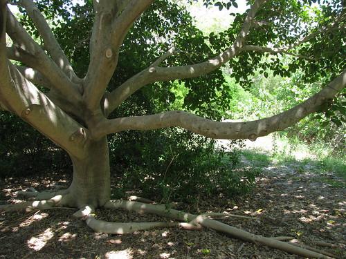 IMG_5645-Bowditch-strangler-fig