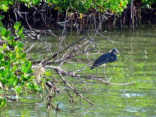 IMG_5716-Estero-Bay-Tricolor-Heron