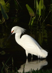 Curves in white (wmlub) Tags: white nature birds reflections egrets