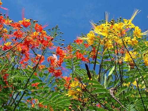 Caesalpinea pulcherrima trees one orange flowers other yellow caesalpinea pulcherrima trees one orange flowers other yellow flowers near marginal pinheiros road mightylinksfo