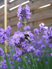 Bizzy Bumble Bee (MrIncredible007) Tags: nature lavender bee