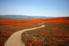 (ojaipatrick) Tags: flowers nature landscape trail ih californiapoppies californiapoppypreserve