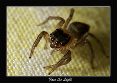 Face the Light (ChrisDapito) Tags: light brown macro face insect lens spider jumping sony kit reverse alpha a100 watcher catchlights naturesfinest macromarvels lenscraft naturewatchernature