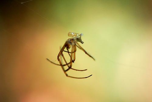 長腳蜘蛛脫的皮