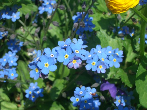 Forget-Me-Not — my favorite flowers.