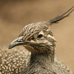 Elegant Crested Tinamou