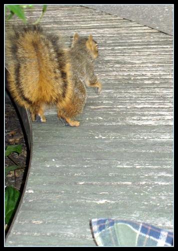 ucberkeley squirrell
