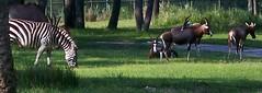 Zebra and Antelope at the AKL