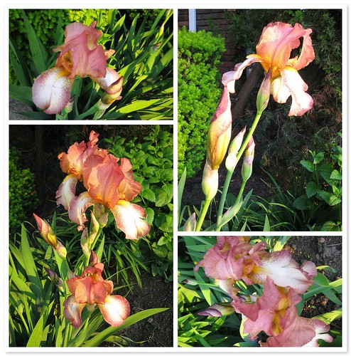 Irises from Sher's garden