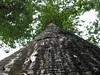 97.05.22平和國小吉貝木棉老樹DSCN0639