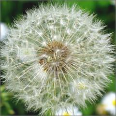 Blowball of a Dandelion - A White Wonder (Batikart) Tags: white plant flower macro green nature closeup canon germany geotagged deutschland weed flora europa europe natur pflanze meadow wiese dandeli
