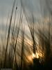 Gerste vor untergehender Sonne