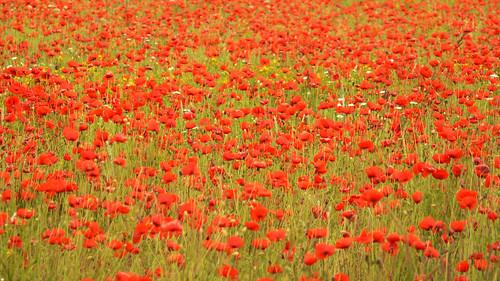 Poppy fields in Latvia