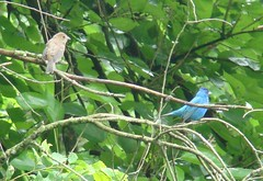 Indigo male and young