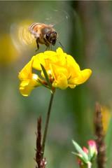 Busy bee (wolfpix) Tags: abejas insectos de nikon bees bee abelha ape  abeja honeybee api abeille bij virg abeilles insetti  lebah insetos abelhas  bienen kwiat ar hymenoptera  pszczoa    kvt   albine nikond60 mekar insekte   mehilinen  vela tawon     alamedacalifornia blomstre mhszet abeha      mamulaklak