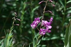 Rock Creek -  Fireweed (kimberzy) Tags: california wildflowers easternsierras convictlake