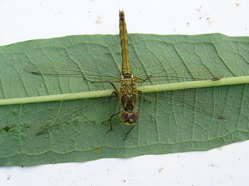 Sudenkorento lehdellä