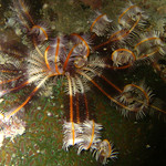 Feather Star, Kho Tao