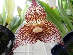 Dracula gorgona species orchid (nolehace) Tags: sanfrancisco orchid flower dracula species 808 gorgona nolehace fz18
