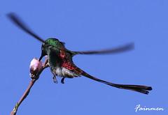 Voiando por mi Jardin (fainmen) Tags: argentina flor jardin colores mendoza ave pajaros pico alas rapido multicolor pequeo vuelo colibri picaflor veloz duraznero
