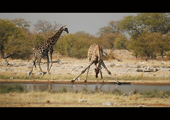 (It's Stefan) Tags: africa wildlife safari trinken namibia etosha  giraffen dringing giraffs