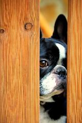 Vigilanta (susilalala) Tags: dog pet frenchbulldog nuka bulldogfrancés nukita susilalala