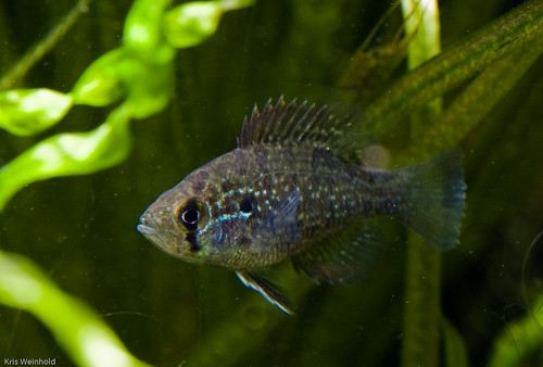 Blue Spotted Sunfish
