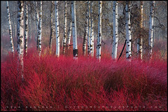 Red Willow Sea (Sean Bagshaw) Tags: trees red usa mist tree art nature beautiful crimson misty oregon forest natural bright artistic vibrant peaceful brush willow aspen ashland wetland