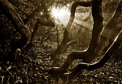 drawn to the light (The Rusty Projector) Tags: bw sepia woodland norfolk motes