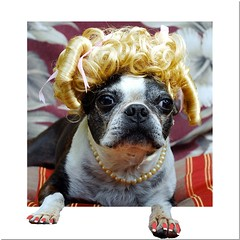 portrait dog pose bostonterrier costume pearls nails pedicure nailpolish blondwig