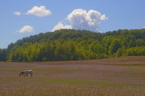 horses in a field of purple