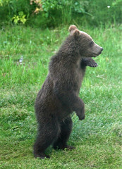 Brown-Cub-Standing (Tom Dillon) Tags: bear travel brown green vertical alaska cub profile adorable sideview multicolor brownbear singleobject greenandbrown bearviewing backyardbear visitingbear standingbearcub standingbrownbear grizzlybearcubstanding