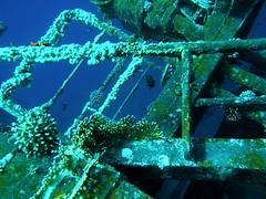 """Buceando por el """"Cedar Pride"""" / Diving in the """"Cedar Pride"""" (copepodo) Tags: fauna redsea diving pride jordan cedar wreck aqaba buceo jordania submarinismo pecio marrojo"""