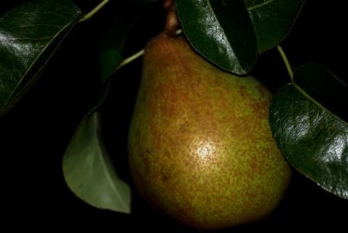 Fine Pear