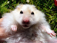 Smiley boy Pirko (pyza*) Tags: pet cute animal rodent critter hamster syrian hammie pirko chomik