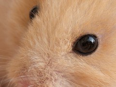 The eye of the golden hamster
