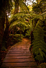 There is no other way (henrikj) Tags: fern nature june architecture forest rainforest australia location victoria boardwalk date greatoceanroad 06 nationalparks biology 2007 otway maitsrest greatotwaynationalpark