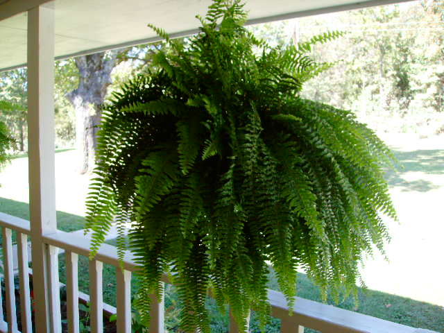 Overwintering Ferns Outside