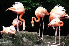pink brooklyn zoo flamingos s5600
