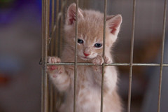 Rescue Me (Domain Barnyard) Tags: rescue orange pet cute animal cat furry kitten feline sad fuzzy lasvegas bokeh small tan adorable kitty whiskers domestic gato buff shorthair lonely 2008 claws cutey lovable siamesemix tingey f32 domainbarnyard canoneos40d