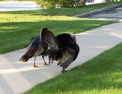 Turkeys_100608b