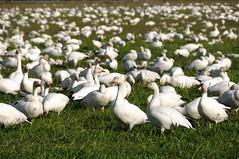 Snow Geese (Hawg Wild Photography) Tags: snowgeese skagitcountywashington firislandgamereserve